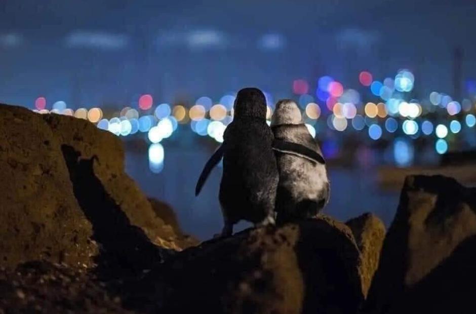 Widowed penguins comfort each other.