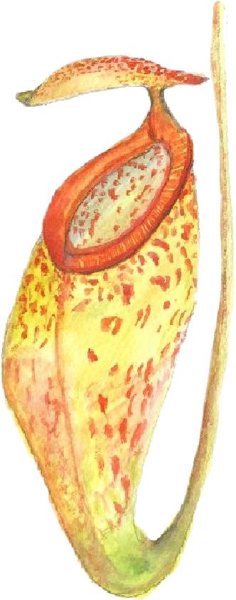 illustration of Miss North's Pictcher plant
